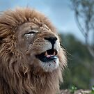 Lion At Werribee II by Tom Newman