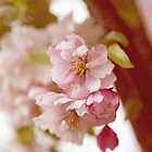 Double Cherry Blossom no. 1 by greenzinnia