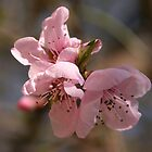 Pink Blossom by marens