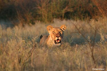 Sunset Lioness by Donald  Mavor