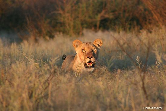Sunset Lioness by Donald  Mavor