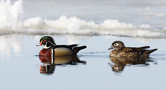 Wood Ducks on river by Jim Cumming