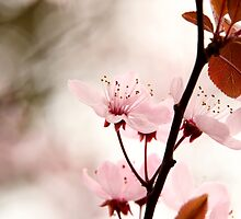 Blossom Pink by Sharon Johnstone