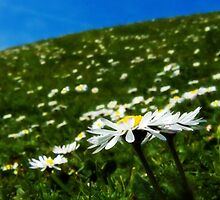 Field Full Of Daisies by Susie Peek