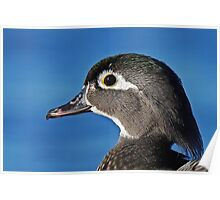 The beauty of the female wood duck Poster