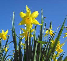 Delightful daffodils by Stephanie Owen
