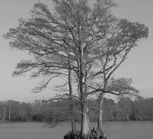 Cypress in Black and White by carolinagirl10