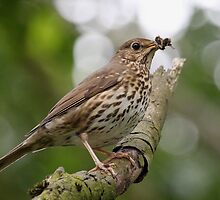 Thrush with Lunch by Peter Stone