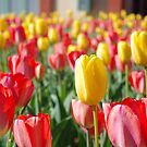 Field of Tulips by Martha Andreatos