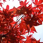 red maple by chamarbe