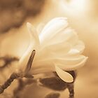 magnolia... by Allan  Erickson