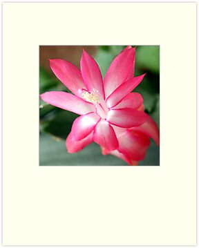 Easter Cactus Bloom by AuntDot