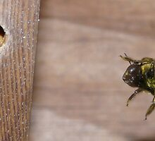 Carpenter Bee by Randell  Meeks