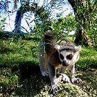 Lemur by INTERACTION