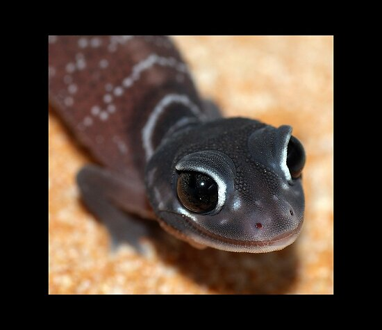 Nephrurus levis levis - Smooth Knob-tailed Gecko by Brett Darby