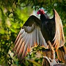 Vulture in the sun by Xcarguy