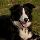 Tessa the Border Collie by cameravan1