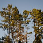 Evening Sun on the Pines by DBGuinn