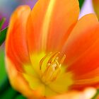 Open Tangerine Tulip by Renee Hubbard Fine Art Photography