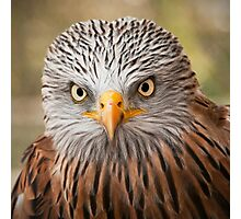 Red Kite (Milvus milvus) Photographic Print