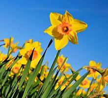 Daffodils by AlanPee