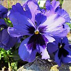 Spring, sun and pansies by Franlaval