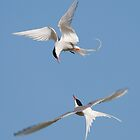Arctic Terns by Nigel Tinlin