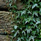 Stone and Ivy by GaryDanton