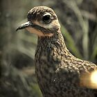 Spotted Dikkop by virag