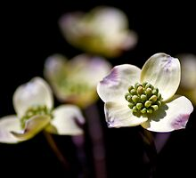 Dogwood Blooms by Phillip M. Burrow