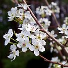 Pear Tree Blossoms III - Spring Has Sprung by Betty Northcutt