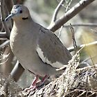 White-winged Dove by Kimberly Chadwick