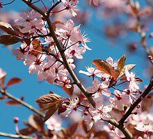 Pink Cherry Blossom_10 by Krystal Cunningham