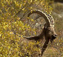 Siberian Ibex, Kyrgyz tien-Shan by Michal Cerny