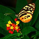 Tiger Longwing Butterfly on Flower by Marcia Rubin