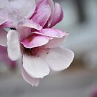 Magnolia Blossom in the Snow by qarrie