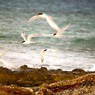 Crested Tern - Lady Elliot Island  by AmyLee2694