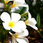 White Frangipani - Lady Elliot Island  by AmyLee2694