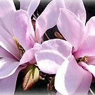 March Magnolias by naturelover