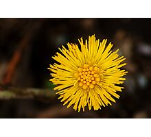 Spring's first little suns  Photographic Print