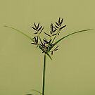 Wild grass in seed by iamelmana