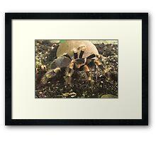 Mexican Red Knee Tarantula (Brachypelma smithii) Framed Print