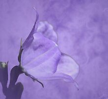Campanula by Andrea Meyer
