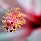 Hibiscus by Ann  Palframan