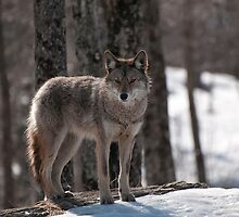 A Timid One by Tracey  Dryka