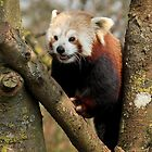 Red Panda by Mark Hughes