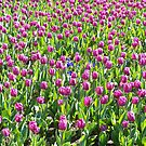 Field of Tulip's. by Lee d'Entremont
