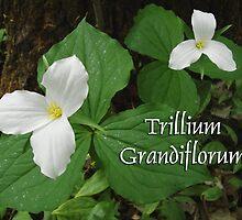 Trillium Grandiflorum ~ Greeting Card Image by Karen Karl