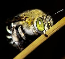 Blue Banded Bee bedding down by john  Lenagan