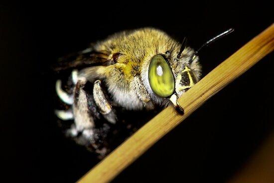 Blue Banded Bee bedding down by john  Lenagan